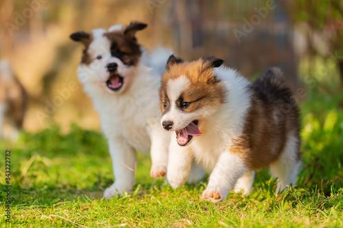 Fototapeta elo puppies playing in the garden obraz
