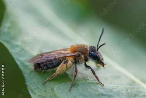 Close up funny little furry bee with big curious eyes and thick yellow hind legs Wallpaper Mural