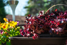 Red Salad Bowl Lettuce In The Pot With Yellow Flowers And Lamp In The Background.
