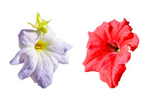 Two Petunia Flowers Of Red And...