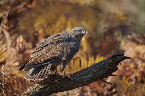 Photo Buzzard perched on a branch