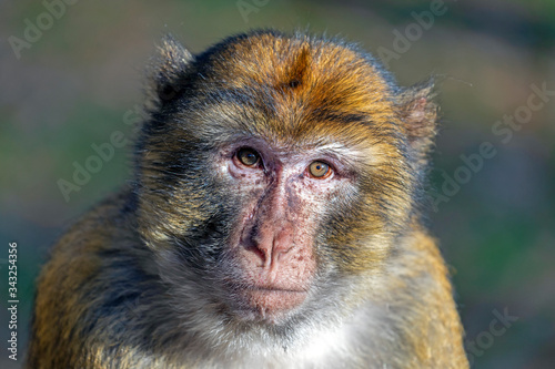 Fotomural portrait of funny monkey in sunlight outdoors