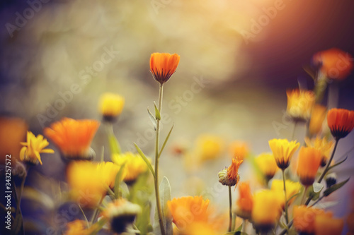 Obraz Orange flowers of calendula - fototapety do salonu
