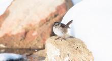 A Swamp Sparrow (Melospiza Geo...