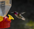 canvas print picture - Brilliant Anna's Hummingbird magenta pink green feeding on bird feeder mid flight wings suspended