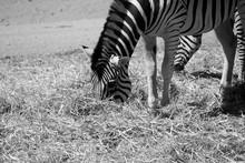 Zebra Grazing At Zoo
