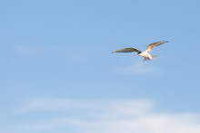 Arctic Tern Flying In Sky