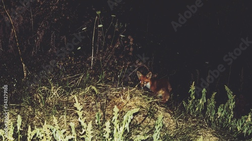Fotografiet Fox On Field At Night