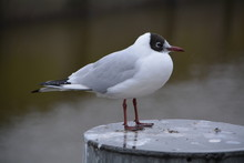 Side View Of Black-headed Gull Perching On Metal During Rain
