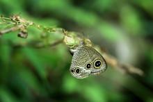 Close Up Shot Of Ypthima Huebneri Butterfly Spawning