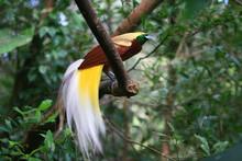 Close Up Shot Of The Raggiana Bird-of-paradise