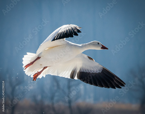 A snow goose comes in for a landing at Middle Creek Wildlife Refuge Fotomurales