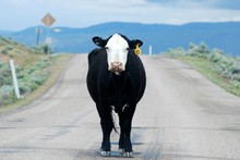 Portrait Of Cow On Road