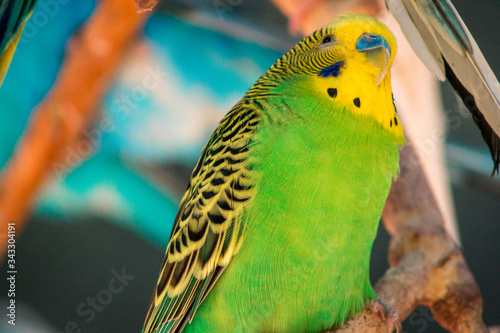 Green and yellow budgie perched on a branch Canvas Print