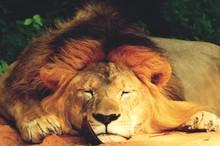 Close-up Portrait Of Lion Rela...