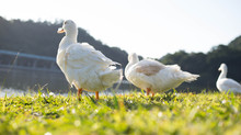 Ducks On Grassy Riverbank