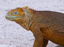 Close-up Of A Land Iguana From The Galapagos Islands Of Ecuador