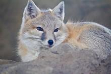 Close-up Portrait Of Fox