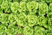 Lettuce Vegetable Salad Growin...
