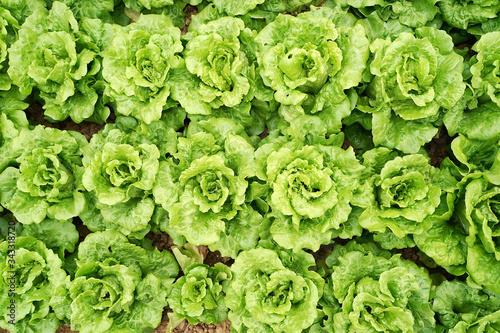 Fototapeta lettuce vegetable salad growing in rural farmland obraz