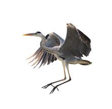 Grey Heron Isolated On White B...