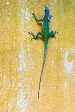 Close-up Of Chameleon On Wall