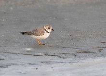 The Piping Plover (Charadrius Melodus) On The Sand Beach, Galveston