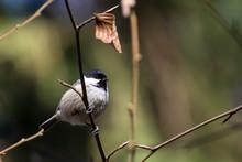 Close-up Of Carolina Chickadee Perching On Twig