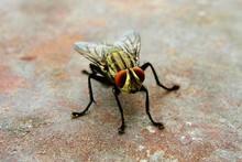 Macro Shot Of Housefly