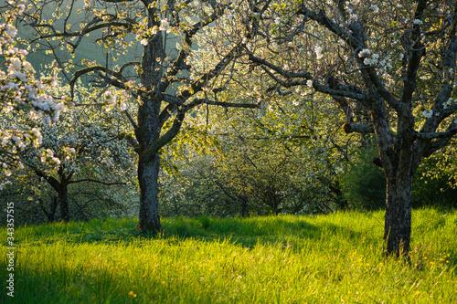 Fototapeta Fruit trees meadow in spring