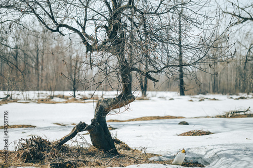 crooked broken tree in the forest, near snow, spring time, dead tree Canvas-taulu