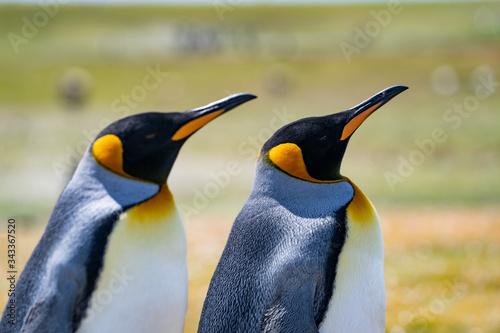 Fototapety, obrazy: ペンギンの群れ,フォークランド諸島,ボランティアポイント,Earththeater