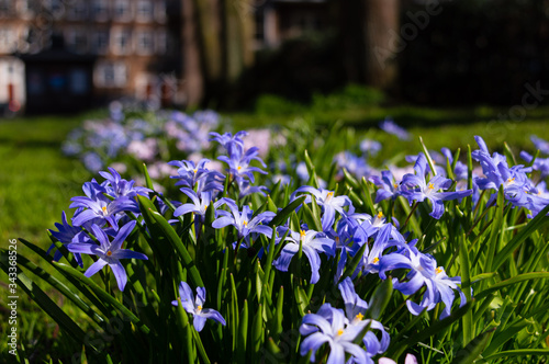 Photo Lucile's glory of the snow with little blue flowers, blooming in a city park in the midday sun in spring