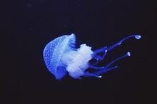 Blue Jellyfish Swimming In Sea