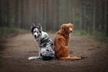 Two Border Collie Dog And Nova...