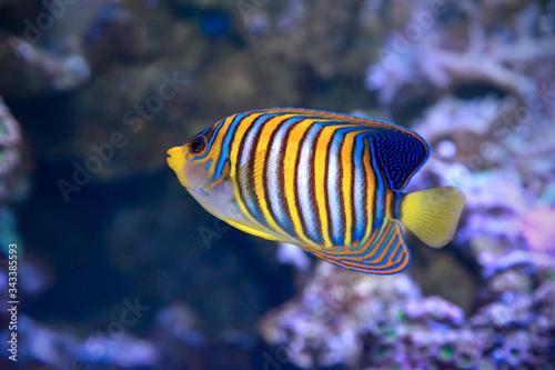Fototapety, obrazy: Royal angelfish Pygoplites diacanthus.