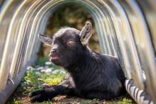 Cute Black Goat On Green Spring Grass Under Metal Construction