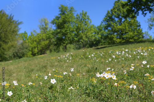 Foto Spring wildflower meadow with wood anemone (Anemone nemorosa) and distant trees