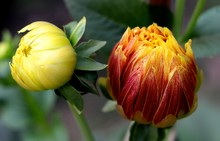 Close-up Of Red And Yellow Buds