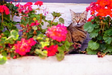 Cat Among Red Flowers. Cat Hiding Among The Flowers.