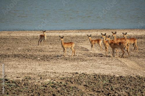 Group of Puku antelopes near river looking for predator Canvas Print