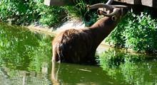 Sitatunga, Antelope Nakong Male