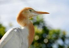 Close-up Of Cattle Egret
