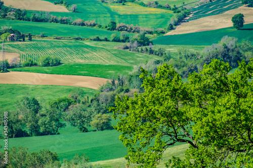 Stampa su Tela La quercia in primo piano sulle colline marchigiane in primavera
