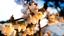Flowering Cherry Branch In The...