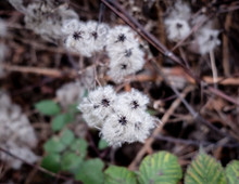Fluffy Seed Heads On Wild Plants