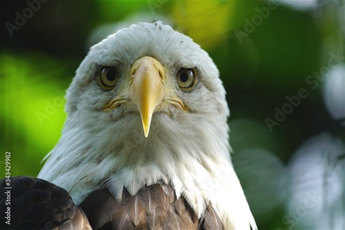 Photo Close-up Of The Head Of An Alert Bald Eagle