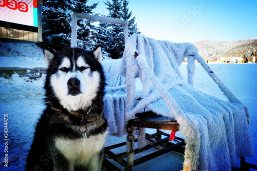 Portrait Of Alaskan Malamute Sitting On Snow Covered Field Canvas Print