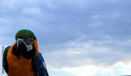 Gold And Blue Macaw Against Cloudy Sky Canvas Print
