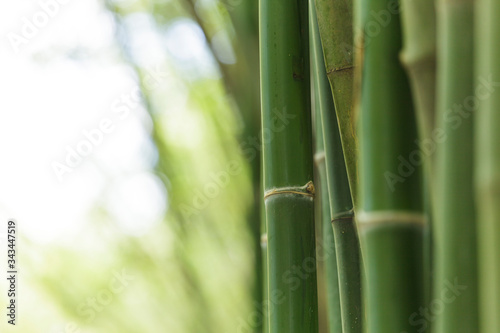 Cuadros en Lienzo Close-up Of Bamboos Growing Outdoors